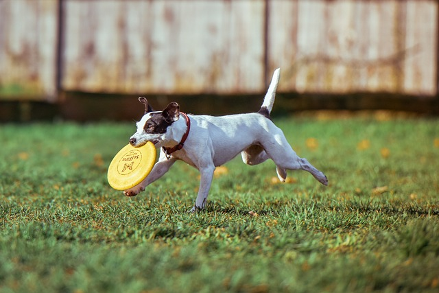 Dog playing with a frisbee